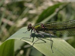 Calopteryx splendens